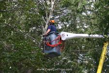 Cedar Tree Pruning and Bucket truck tree removal, pruning and chipping on Bank Street in Harwich Port.