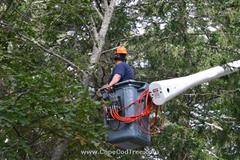 Cedar Tree Cutting and Bucket truck tree removal, pruning and chipping on Bank Street in Harwich Port.